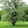 cottonwood-tree