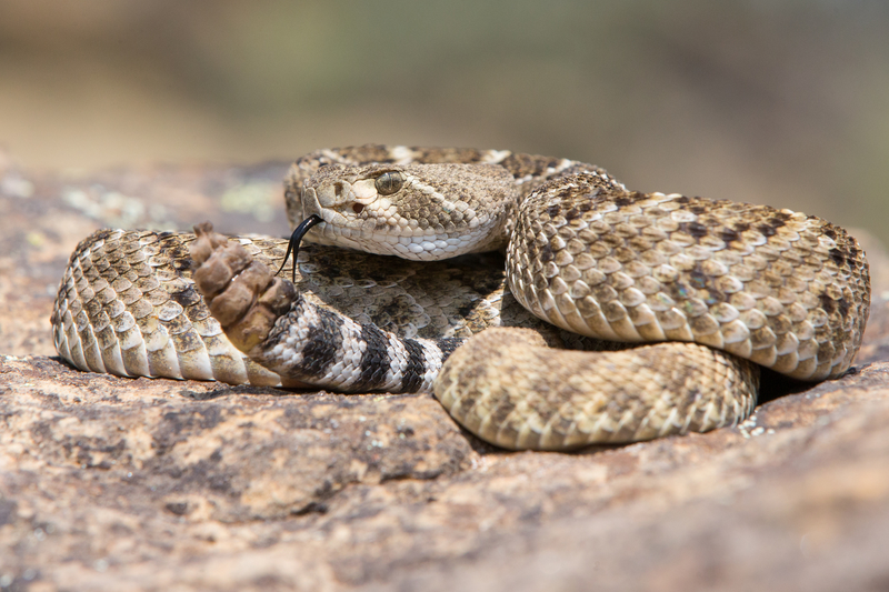 Interesting Rattlesnake Facts - Welcome to the Rattlesnake ...